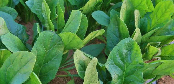 今の野菜は昔に比べて栄養価が下がっているのでしょうか?[食の安全と健康:第4回 文・松永和紀]